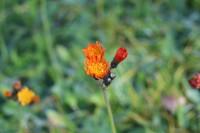 Die Letzte Blume im Herbst