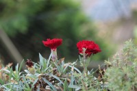 Nelken im Garten